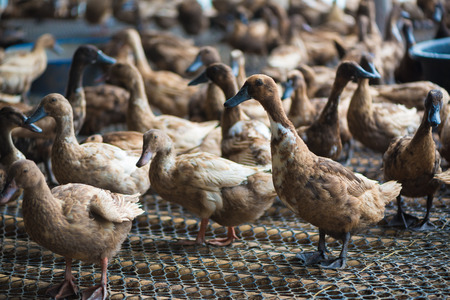 Group of ducks in farm, traditional farming in Thailand, animal farm. Banco de Imagens