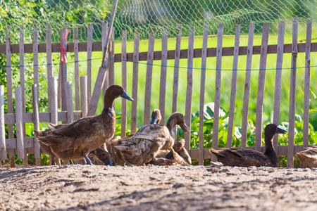 Ducks in farm, traditional farming in Thailand, animal farm.