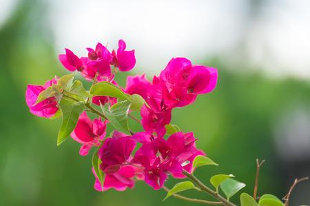 Pink bougainvillea flower or paper flower with leaves in the stock pink bougainvillea flower or paper flower with leaves in the garden plant background blurry mightylinksfo