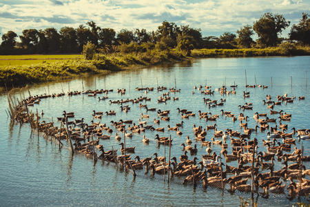 duck egg: Duck in farm, eat and swimming in marsh, traditional farming in Thailand, vintage tone Stock Photo