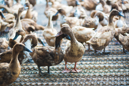 Group of ducks in farm, traditional farming in Thailand, animal farm. Stock Photo