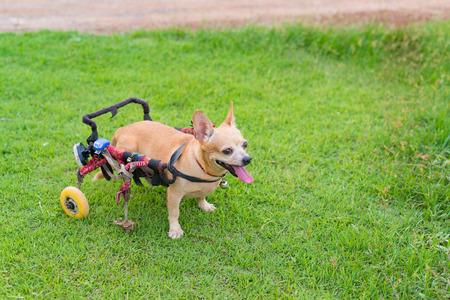 Happy cute little dog in wheelchair or cart walking in grass field. Stock Photo