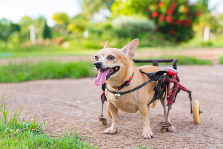 Happy cute little dog in wheelchair or cart walking in grass field. Banque d'images