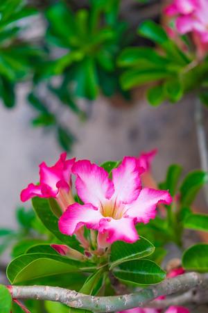 Adenium obesum flower Medicinal Plants in garden.