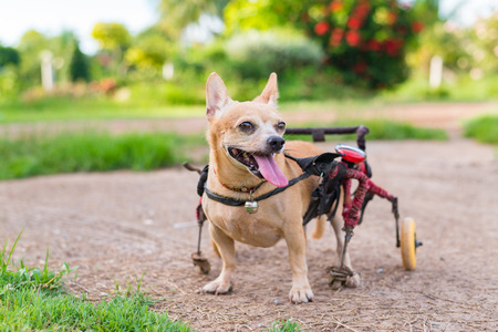 Happy cute little dog in wheelchair or cart walking in grass field. Stock Photo