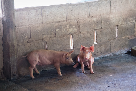 Group of pig sleeping eating in the countryside farm. livestock concept.