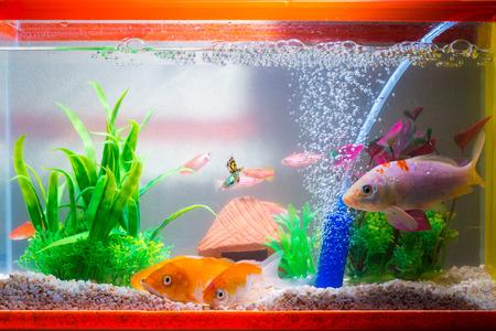 Pequeño pez en acuario o acuario, pez dorado, pez guppy y rojo, carpa elegante con planta verde, concepto de vida submarina.