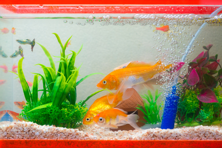 Little fish in fish tank or aquarium, gold fish, guppy and red fish, fancy carp with green plant, underwater life concept. Stock Photo