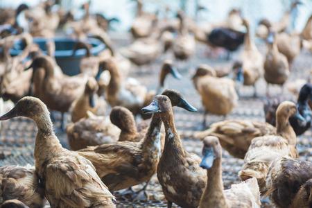 Group of ducks in farm, traditional farming in Thailand, animal farm. Stock Photo