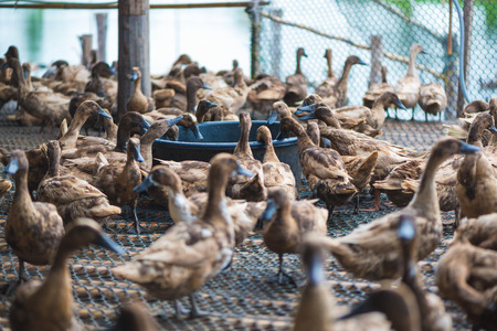 Duck eating food in farm, traditional farming in Thailand Stock Photo