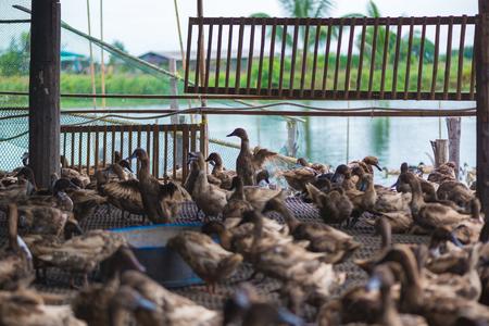Group of ducks in farm, traditional farming in Thailand, animal farm. Banco de Imagens
