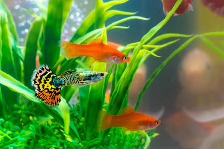 Little fish in fish tank or aquarium, gold fish, guppy and red fish, fancy carp with green plant, underwater life concept. Фото со стока