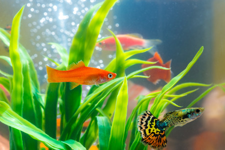 Little fish in fish tank or aquarium, gold fish, guppy and red fish, fancy carp with green plant, underwater life concept. Stockfoto