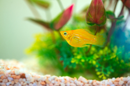 Little Molly fish, Poecilia latipinna in fish tank or aquarium, underwater life concept. Reklamní fotografie