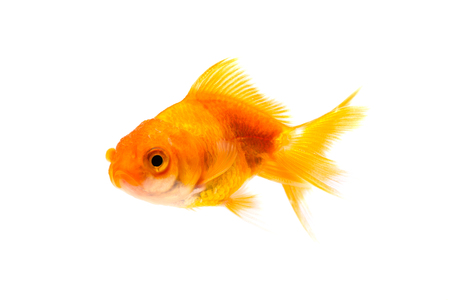 Gold fish or goldfish swimming isolated on white background.