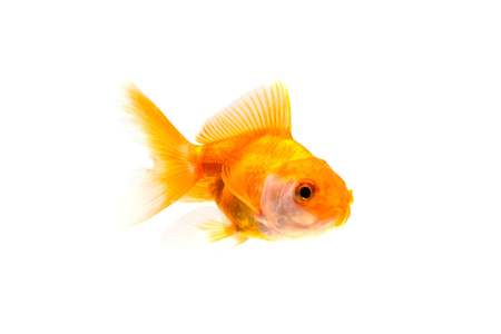 Gold fish or goldfish swimming isolated on white background. Zdjęcie Seryjne
