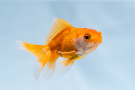 Gold fish or goldfish floating swimming underwater in fresh aquarium tank, marine life.