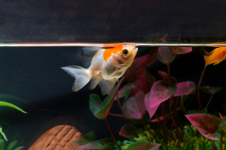Gold fish or goldfish floating swimming underwater in fresh aquarium tank with green plant. marine life. Standard-Bild