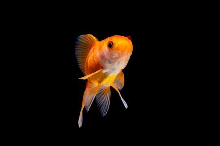 Gold fish or goldfish swimming isolated on black background.