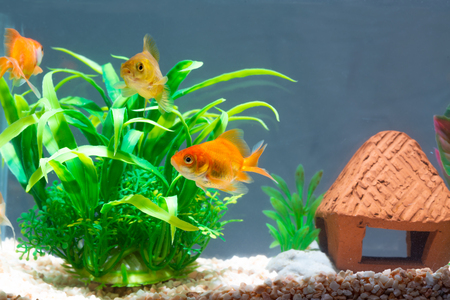 Gold fish or goldfish floating swimming underwater in fresh aquarium tank with green plant. marine life. Zdjęcie Seryjne