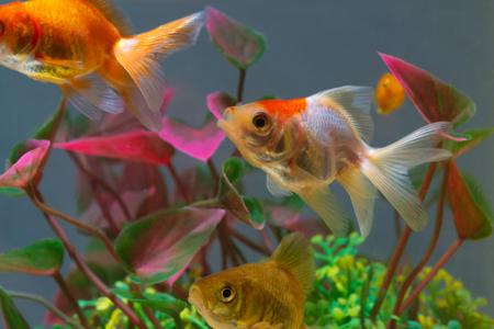 Gold fish or goldfish floating swimming underwater in fresh aquarium tank with green plant. marine life. Stock Photo