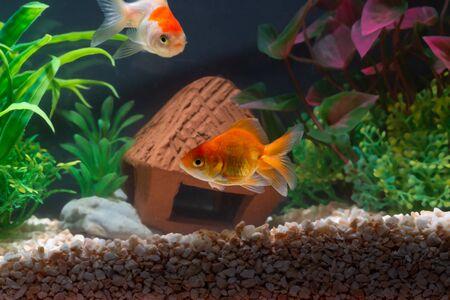 Gold fish or goldfish floating swimming underwater in fresh aquarium tank with green plant. marine life. Stockfoto