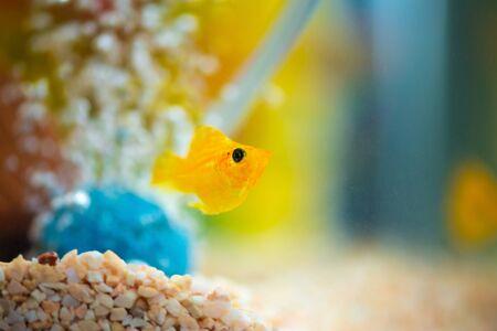 Little Molly fish, Poecilia latipinna in fish tank or aquarium, underwater life concept. Фото со стока