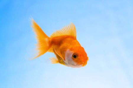 Gold fish or goldfish floating swimming underwater in fresh aquarium tank, marine life.