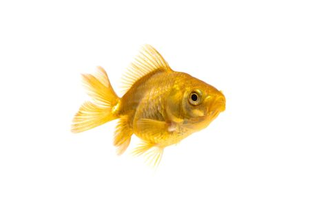 Gold fish or goldfish swimming isolated on white background. Stok Fotoğraf