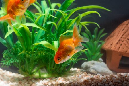 Gold fish or goldfish floating swimming underwater in fresh aquarium tank with green plant. marine life. Stok Fotoğraf