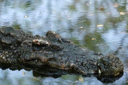 Aligator Crocodile in the mossy swamp, dangerous animal Stok Fotoğraf