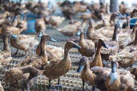 Group of ducks in farm, traditional farming in Thailand, animal farm.