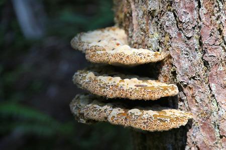 Polypore Mushrooms Фото со стока - 47635718
