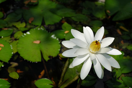 white lotus flower: White Lotus Flower and Bees  Stock Photo