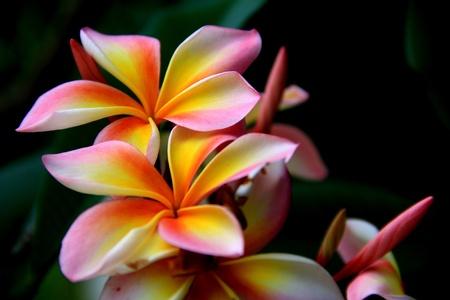 Frangipani flowers. photo