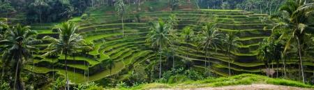 The great flat rice in bali