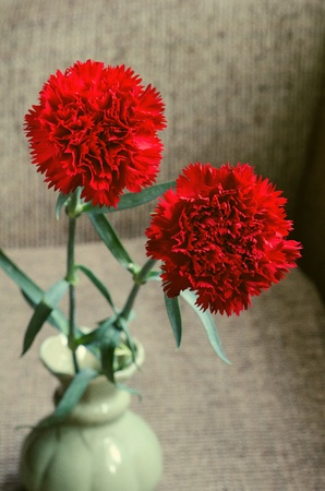 Two Vivid red Carnation Stock Photo