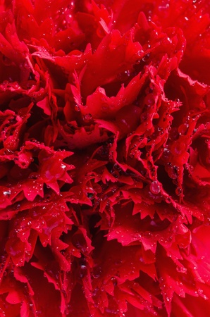 Close up red carnation Stock Photo