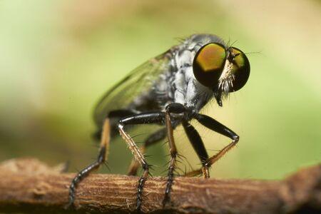 A macro shot of a rubberfly on a stick Stock Photo