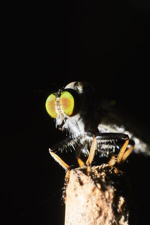 asilidae: A macro shot of a rubberfly isolated on a black background