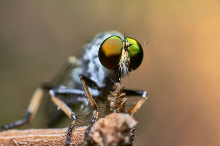 asilidae: A macro shot of a rubberfly eating a prey