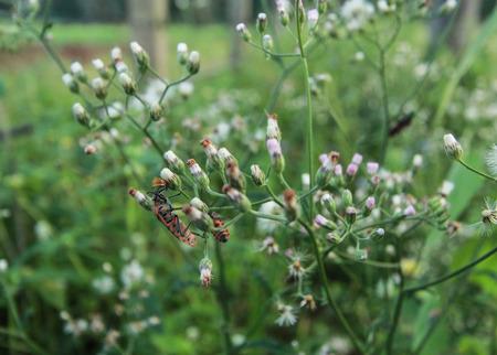 Pyrrhocoris apterus Mating on green grass background