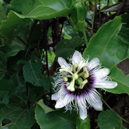 passion fruit flower: PASSIFLORACEAE - stinking passion flower