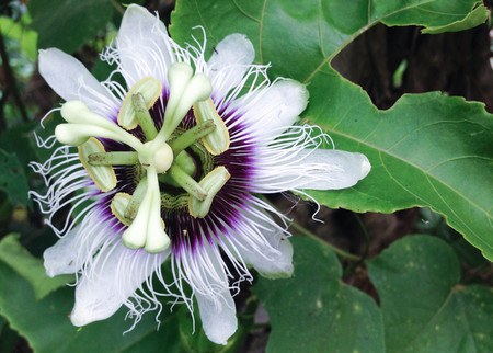 PASSIFLORACEAE - stinking passion flower