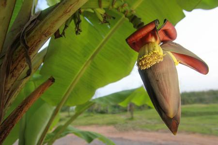 Banana flower,banana blossom, Musa paradisiaca L. var. sapientum O. Ktze., M. sapientum L.