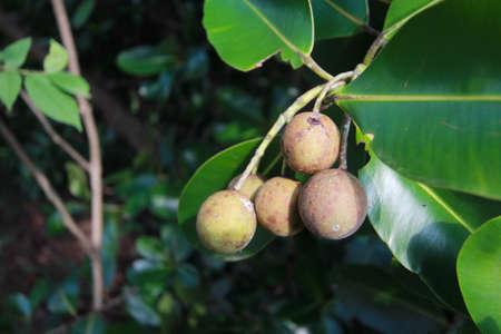 Calophyllum inophyllum,Theales,Clusiaceae,Calophyllum,C. inophyl