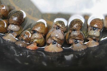 Pond snail, Marsh snail, River snail,Viviparidae