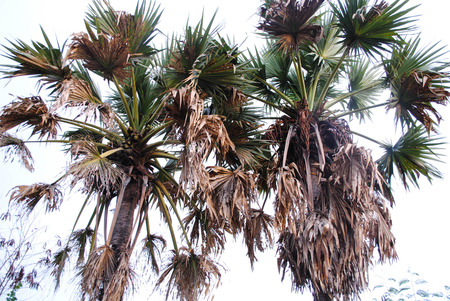 sugar palm tree in thailand Stock Photo