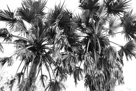 sugar palm tree in thailand (black and white photo)