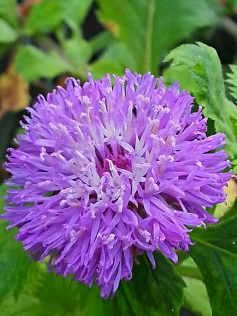 violette fleur: Petite fleur pourpre ronde Banque d'images